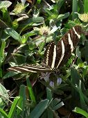 Zebra Longwing Butterfly Collecting Nectar