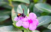 Wasp With Vinca Flowers.