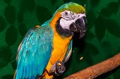Parrot Blue-and-yellow Macaw Or Ara Ararauna