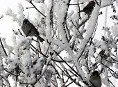 Sparrow  perched on a snow covered tree limb
