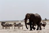 picture of herbivore animal  - African elephants drinking at a muddy waterhole with other animals Etosha national Park Ombika Kunene Namibia. True wildlife photography