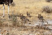 Family Of Ostrich With Chickens, Struthio Camelus, In Namibia