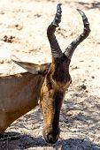 A Tsessebe (damaliscus Lunatus) Stood Facing The Camera