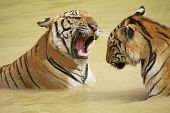stock photo of cute tiger  - Adult Indochinese tigers fight in the water - JPG