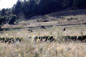 Golden field three sheep