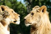 Lion Face To Face