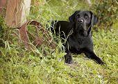 pic of wagon wheel  - Beautiful black Labrador Retriever lying down next to an old rusty wagon wheel - JPG