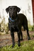 pic of seeing eye dog  - Beautiful black Labrador Retriever standing in front of an old barn - JPG