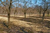 foto of orchard  - Orchard with plum trees on springtime after the pruning activity - JPG