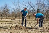 pic of orchard  - Father and son digging a hole in an orchard to plant a plum tree - JPG