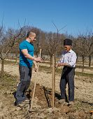 pic of orchard  - Senior farmer teaching his son in law how to plant a tree in an orchard - JPG