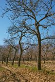picture of orchard  - Landscape with giant plum trees in an orchard on springtime - JPG