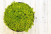 stock photo of oregano  - Oregano herb spicy plant with green yellow leaves  - JPG