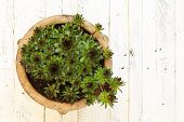 stock photo of paint pot  - Succulent Sempervivum calcareum in ceramic plant pot on white painted wooden background - JPG