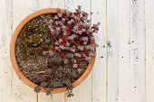 picture of paint pot  - Mini Alpine garden sedum collection green silver and red leaves in clay pot on white painted wooden background - JPG
