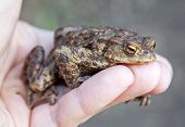 stock photo of common  - Frog  - JPG