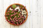 foto of paint pot  - Mini Alpine garden sedum Saxifrage pink flowers blossom with rocks in clay pot on white painted wooden background - JPG
