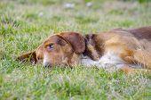 picture of sad dog  - Sad old dog with orange reddish fur lying in the grass - JPG