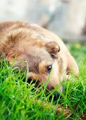stock photo of wolf-dog  - Dog in grass - JPG
