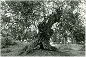 stock photo of olive trees  - the ancient olive tree at utjeha montenegro - JPG