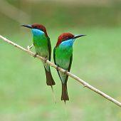 stock photo of throat  - Couple of Blue - JPG
