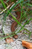 image of common  - Young Common European Adder hiding in its habitat - JPG