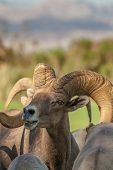pic of ram  - a nice desert bighorn sheep ram in nevada - JPG