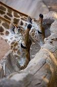 stock photo of gutter  - Giraffe eating grain food on gutter wood - JPG