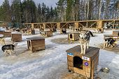 foto of husky sled dog breeds  - Veiw of a sled dogs farm in winter - JPG