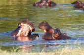 pic of tusks  - Two young male hippopotamus Hippopotamus amphibius rehearse fray and figting with open mouth and showing tusk - JPG