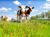 stock photo of calves  - Calves on the field - JPG