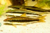 stock photo of south east asia  - Aquarium striped barb fish from the south east Asia - JPG