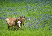 pic of burro  - Two donkeys grazing on bluebonnet pasture in Texas spring - JPG
