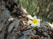 image of plumeria flower  - White plumeria on the trunk of plumeria tree. ** Note: Soft Focus at 100%, best at smaller sizes - JPG