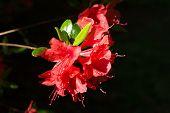 picture of azalea  - Azalea flowers after the rain a spring morning - JPG