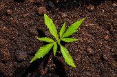 image of cannabis  - Cannabis Leaf Texture On a Black Background - JPG
