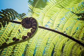 picture of fern  - Unravelling Fern Frond Closeup - JPG