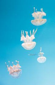 stock photo of medusa  - Spotted lagoon jelly - JPG