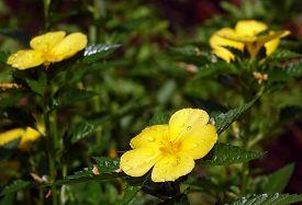 foto of buttercup  - A shrub of buttercup flower  - JPG
