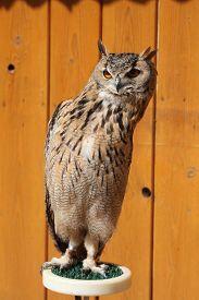 image of owls  - Indian eagle - JPG