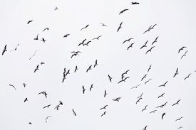 image of flock seagulls  - Number Of Seagulls In Various Positions Of flying - JPG