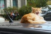 Yawning Cat On The Roof Of The Car