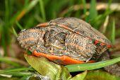 pic of winnebago  - Baby Painted Turtle  - JPG