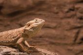 Reptile Bearded Agama