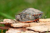 picture of winnebago  - Baby Painted Turtle  - JPG