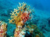 Scorpionfish, Vietnam, Nha Trang