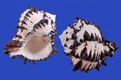 Black Murex Sea Shells