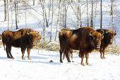 image of aurochs  - three wild bisons in the winter forest - JPG