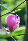 pic of saucer magnolia  - Pink abloom magnolia flower in sunny spring day with beautiful bokeh - JPG