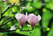 stock photo of saucer magnolia  - Pink abloom pair of magnolia flower with beautiful bokeh - JPG